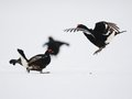 Black grouse fighting Royalty Free Stock Image