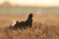 Black grouse shouting in the bog at sunrise Stock Photography