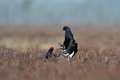 Black Grouse (Tetrao tetrix) fight Stock Photography