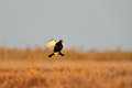 Black Grouse (Tetrao tetrix) flying Stock Photography