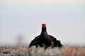 Black Grouse (Tetrao tetrix) lek Stock Photography