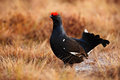 Black Grouse, Tetrao Tetrix, L...