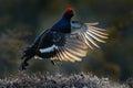 Black Grouse, Tetrao tetrix, lekking nice black bird in marshland, red cap head, animal in the nature forest habitat, Sweden. Royalty Free Stock Photo