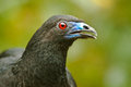 Black Guan Stock Photography