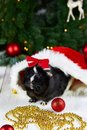 Black guinea pig among new years decoration Royalty Free Stock Photo