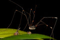 Black harvestman daddy longlegs resting on leaf with preys its Royalty Free Stock Photography