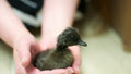 Black hatchling duck a shortly after birth Stock Photography
