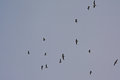 black-headed gulls in flight - Chroicocephalus ridibundus Royalty Free Stock Photo
