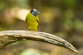 Black headed bulbul pycnonotus atriceps in nature Stock Photos