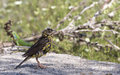 Black headed bunting emberiza melanocephala a is drying himself Stock Images