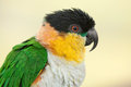 Black headed caique parrot photo of Royalty Free Stock Images