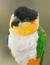 Black headed caique parrot portrait of a Stock Images