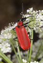Black headed cardinal beetle (Pyrochroa coccinea) Royalty Free Stock Photography