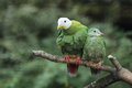 Black-headed fruit dove Royalty Free Stock Image