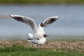 Black-headed gull Stock Photo