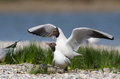Black-headed gull Royalty Free Stock Photos