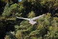 Black headed gull in autumn on the island of usedom Stock Photography