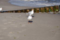 Black headed gull in autumn on the island of usedom Royalty Free Stock Photo
