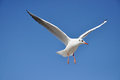 Black headed gull in autumn on the island of usedom Stock Image