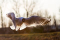 The black headed gull backlit chroicocephalus ridibundus in flight Royalty Free Stock Photo