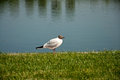 The black-headed gull Royalty Free Stock Photo