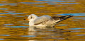 Black headed gull chroicocephalus ridibundus a on water in winter Royalty Free Stock Photography
