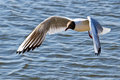 Black headed gull in flight over water Royalty Free Stock Images