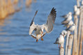 Black headed gull larus ridibundus beautiful flying over the sea Stock Photo