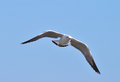 Black headed gull larus ridibundus beautiful flying over the sea Royalty Free Stock Images