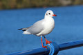 Black headed gull larus ridibundus in non breeding or winter plumage stood on a railing with water lake behind Royalty Free Stock Photography