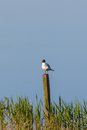 Black headed gull sitting on a pole at the lake and resting Stock Images