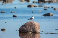 Black headed gull sitting on a stone rock at the beach Royalty Free Stock Photo