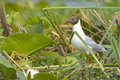 Black headed gull in vegetation danube delta Royalty Free Stock Photo
