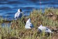 Black Headed gulls Stock Image