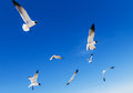 Black headed gulls in bright blue sky Royalty Free Stock Photo