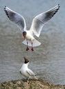 Black Headed Gulls - Chroicoce...