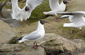Black headed gulls chroicocephalus ridibundus sitting on stones and flying around Stock Image