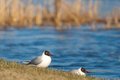 Black headed gulls enjoying the evening two in light Royalty Free Stock Photography