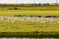 Black-headed gulls in flight Royalty Free Stock Photo