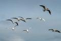 Black Headed Gulls Seahouses Royalty Free Stock Photo