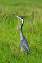 Black headed heron Stock Photo