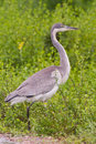 Black-headed heron (ardea melanocephala) Royalty Free Stock Images