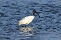 Black headed ibis threskiornis melanocephalus – aka oriental white standing in the water bundala national park sri lanka Stock Photography