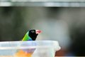 Black headed male gouldian finch bird rainbow standing in a food bowl in an aviary in butterfly world south florida the erythrura Royalty Free Stock Image