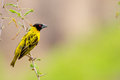 Black-headed Oriole at Victoria Falls Safari Lodge Stock Photo