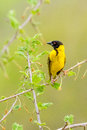 Black-headed Oriole at Victoria Falls Safari Lodge Stock Image