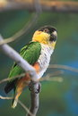 Black-headed parrot Royalty Free Stock Images