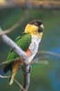 Black-headed Parrot
