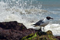 Black headed sea gull chroicocephalus ridibundus seagull perched on moss covered rock while waves splash on rocks in the Stock Image