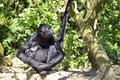 Black headed spider monkey sitting on ground ateles fusciceps front view Stock Photos